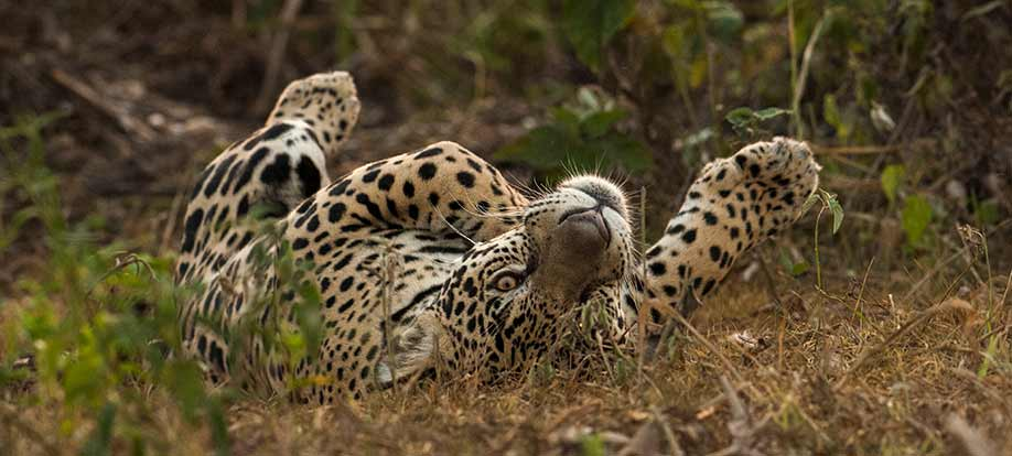 Jaguars in the Pantanal Brazil