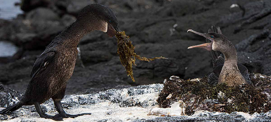 flightless cormorants from Galapagos
