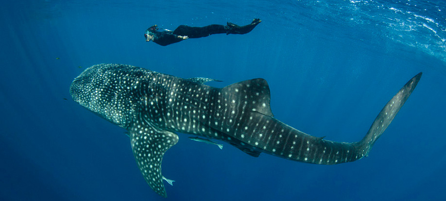 Renee snorkelling with a whale shark