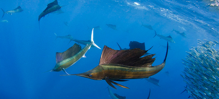 sailfish ocean s ambassador pete oxford expeditions