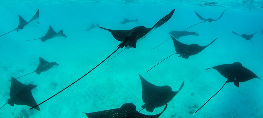 spotted eagle rays in the Galapagos