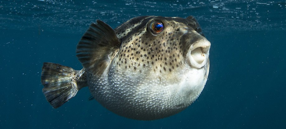 Bullseye Pufferfish