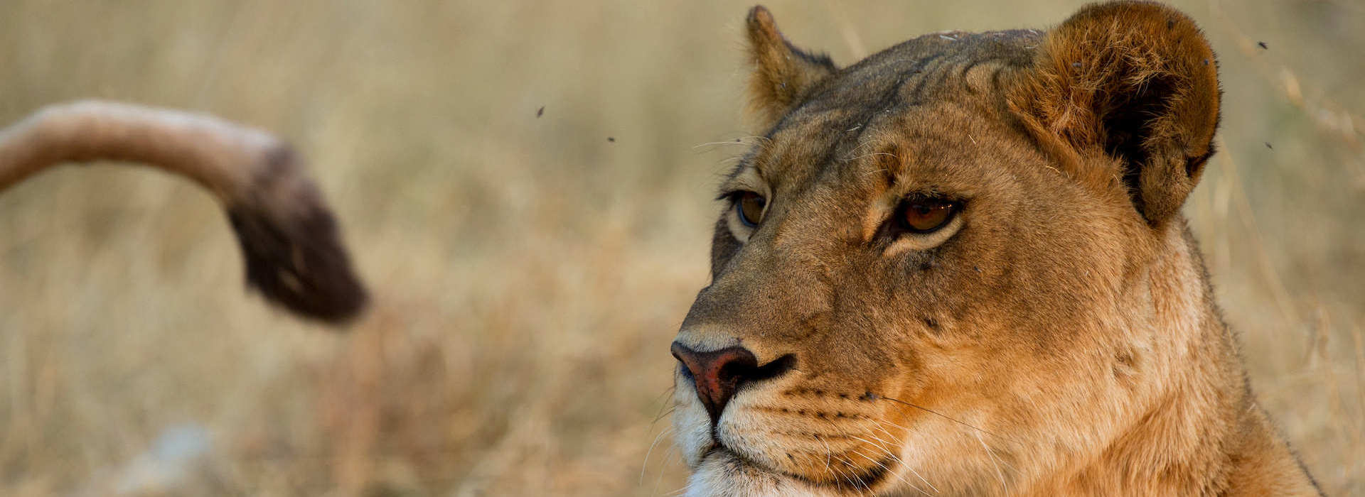 Lioness-botswana2-2018-prod